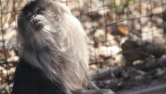 Lion-Tailed Macaque 3 Stock Footage