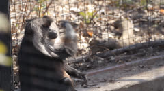 Lion-Tailed Macaque 5 Stock Footage