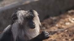 Lion-Tailed Macaque 6 Stock Footage