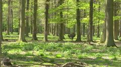 Red Deer stag (cervus elaphus) velvet stands in beech forest - wide shot Stock Footage