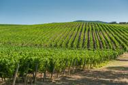 Stock Photo of vineyard in orcia valley, tuscany