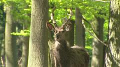 Red Deer stag & hind (cervus elaphus) velvet on camera in forest - medium shot Stock Footage