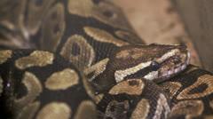 Royal Python Stock Footage