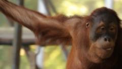 Sumatran Orangutan 3 Stock Footage