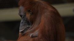 Sumatran Orangutan 8 Stock Footage