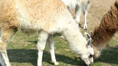 Three lamas grazing Stock Footage