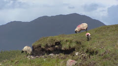 Connemara sheep in peatland at Connemara, Ireland Stock Footage