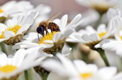 Honey bee feeding on anthemis flower - stock photo