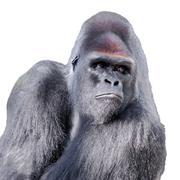 Yksittäisiä muotokuva gorilla Kuvituskuvat