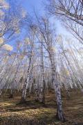 white birch forest - stock photo