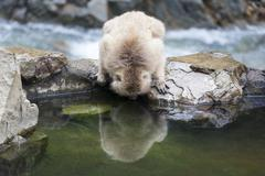 japanese macaque looks at it's reflection in water - stock photo