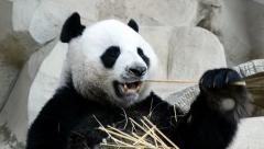 Cute giant panda bear eating bamboo Stock Footage