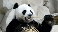 Stock Video Footage of cute giant panda bear eating bamboo