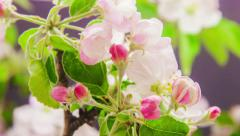 Apple tree flower growing time lapse Stock Footage