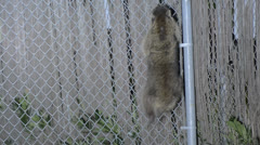 Raccoon Climbing a Fence 1 - stock footage