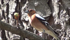 Chaffinch sings Stock Footage