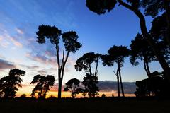 stand of scots pine trees at sunset - stock photo