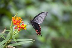 swallowtail butterfly hovering by flower - stock photo