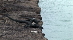 Galapagos marine iguana moves towards viewer Stock Footage