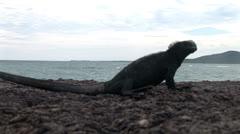 Solo galapagos marine iguana ponders the universe Stock Footage