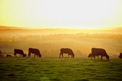 Cattle at sunset Stock Photos