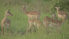 African Antelope Stock Footage