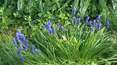 Bunch of Common grape hyacinth - muscari botryoides Stock Footage