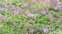 Blooming Bird in a bush (Corydalis solida) - full screen Stock Footage