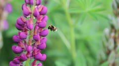 LUPIN & BEES 04 Stock Footage