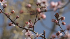 Cherry blossoms against blue sky Stock Footage