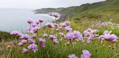 pink thrift flowers on clifftop - stock photo