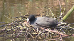 Common coot (fulica atra) on floating nest and departs Stock Footage