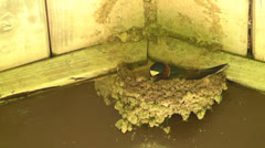 Ciff Swallow working on its nest I Stock Footage