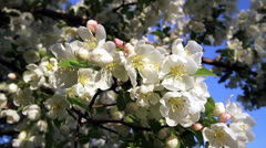 White Crab Apple Blossoms Loop Stock Footage