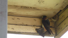Cliff Swallow perched in Camp Shelter at Ray Roberts State Park I Stock Footage