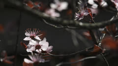 Pale pink cherry blossoms Stock Footage
