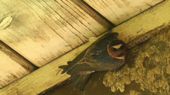 Cliff Swallow Closeup Stock Footage