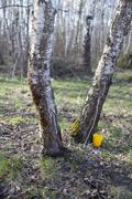 Stock Photo of manufacture of birch sap in the woods