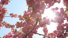 Cherry blossom flower and sun light - stock footage