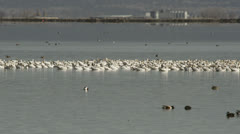 Flock of snow geese on the water Stock Footage