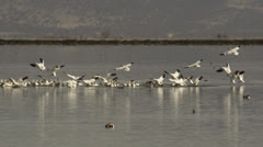 Snow geese join flock congregated on lake Stock Footage