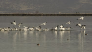 Stock Video Footage of Snow geese join flock congregated on lake