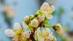 Wild plum flower growing timelapse Stock Footage