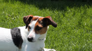 Stock Video Footage of Close up on a Jack Russell terrier