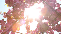 Cherry blossoms in spring Stock Footage