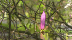 Pink flower bud Magnolia Ricki - close up Stock Footage