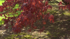 Japanese Maple tree Acer Bloodgood in spring foliage - tilt up Stock Footage