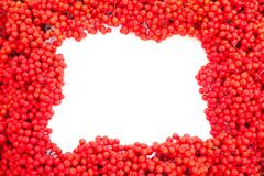 mountain ash berries with blank white copyspace - stock illustration