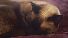 Sleeping Siamese Cat Stock Footage