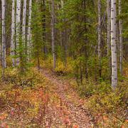 Trail in golden aspen forest Stock Photos